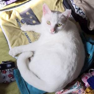 chat qui fait la sieste sur des vêtements repassés